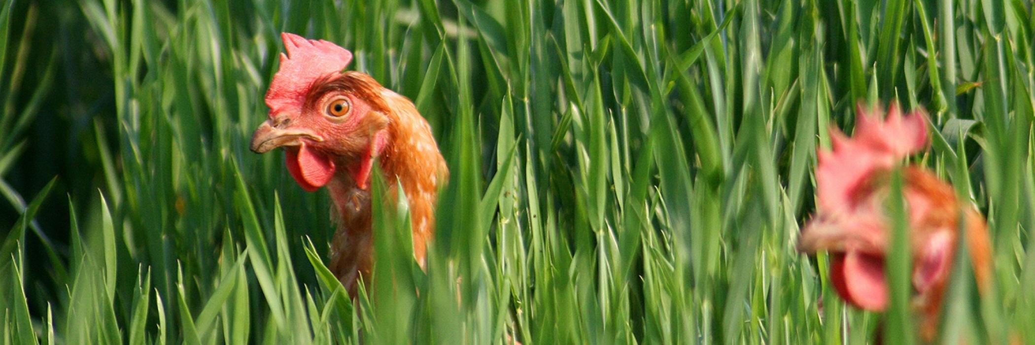 allevamento galline coccodì