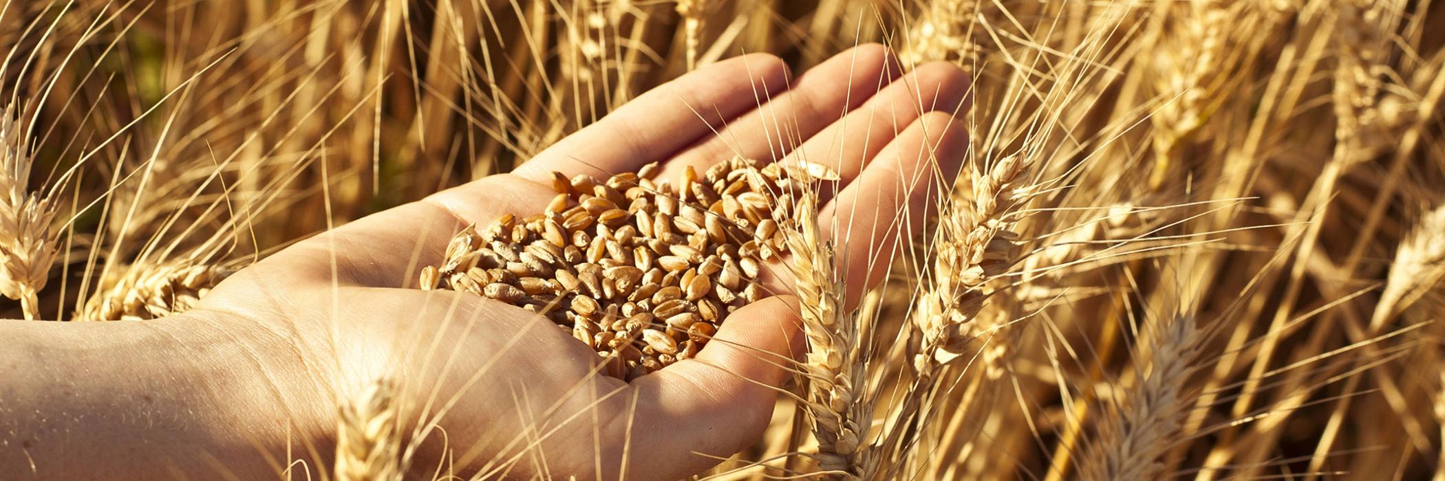 mano tra il grano
